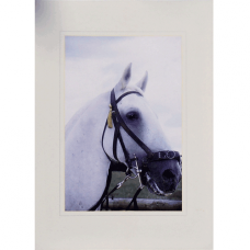 Lipizzaner Greetings Card 02