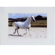 Lipizzaner Greetings Card 03